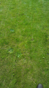 Image of a weedy lawn that can be successfully treated by Green Stripe Lawn Care Milton Keynes